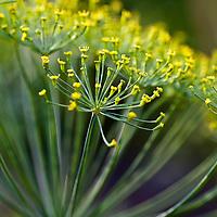 Dill flowers (Anthemum graveolens)