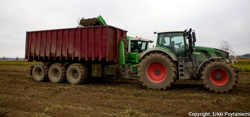 organic starch potato harvest