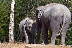 19 October 2010: Asian Elephant. St. Louis Zoo, St. Louis Missouri (Photo by Alan Look)