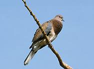 Laughing Dove - Spilopelia senegalensis