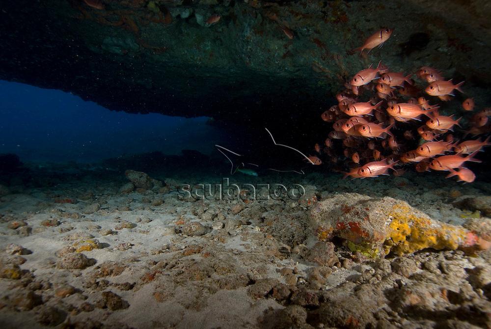 Soldier fish, Fernando de Noronha, Brazilian Coast, Atlantic Ocean, Brazil.