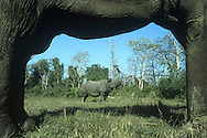 Indian Rhino Rhinoceros unicornis Shoulder height 160-190cm Massive, bulky herbivore with a single horn and greyish, virtually hairless skin. Rare and restricted mainly to Terai grassland in southern foothills of Himalayas (these days, mainly Nepal and India).