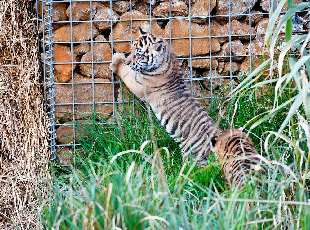 © Licensed to London News Pictures. 26/03/2014. London, UK. One of the cubs explores the outdoor paddock.  Three of the world's rarest tiger cubs have made their public debut just in time for Mothers' Day, exploring the outdoor paddock of their home at ZSL London Zoo's Tiger Territory. The seven-week-old cubs joined mum, Melati, when she ventured outside to stretch her legs on Wednesday afternoon, and appeared delighted with their new play area. The cubs, who won't be named until keepers know if they are boys or girls, have been spotted playing in their custom-built cub conservatory area, but this is the first time that they've ventured outside into the main paddock. Photo credit : ZSL/LNP