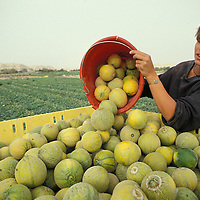 Israel, Moshav Neot Hakkikar, Young British woman harvests melons on farm in Negev Desert