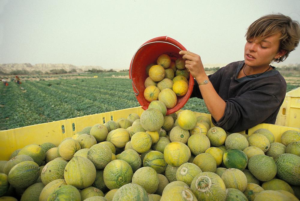 Israel, Moshav Neot Hakkikar, Young British woman harvests melons on farm in Negev Desert