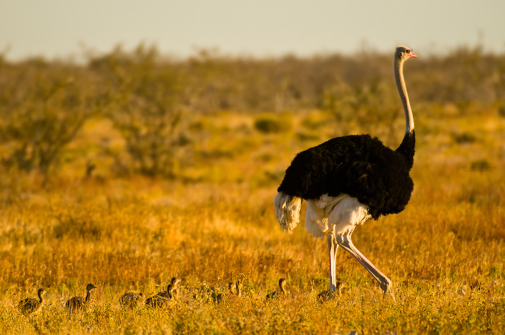 A male ostrich trailed by baby ostriches, Etosha National Park, Namibia