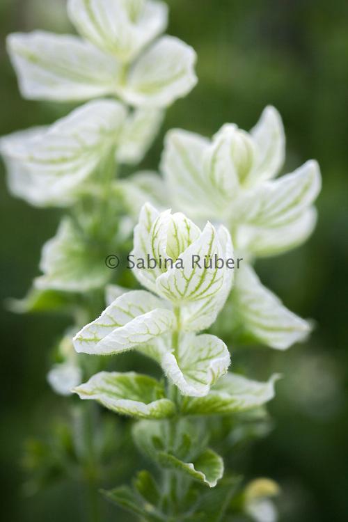 Salvia horminum 'White Swan' - clary