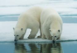 Twin Polar bears (Ursus maritimus) in Svalbard