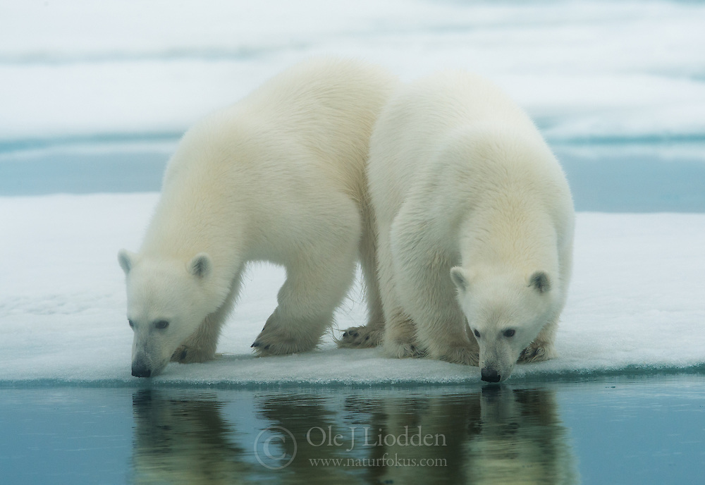 Twin Polar bears (Ursus maritimus) in Svalbard