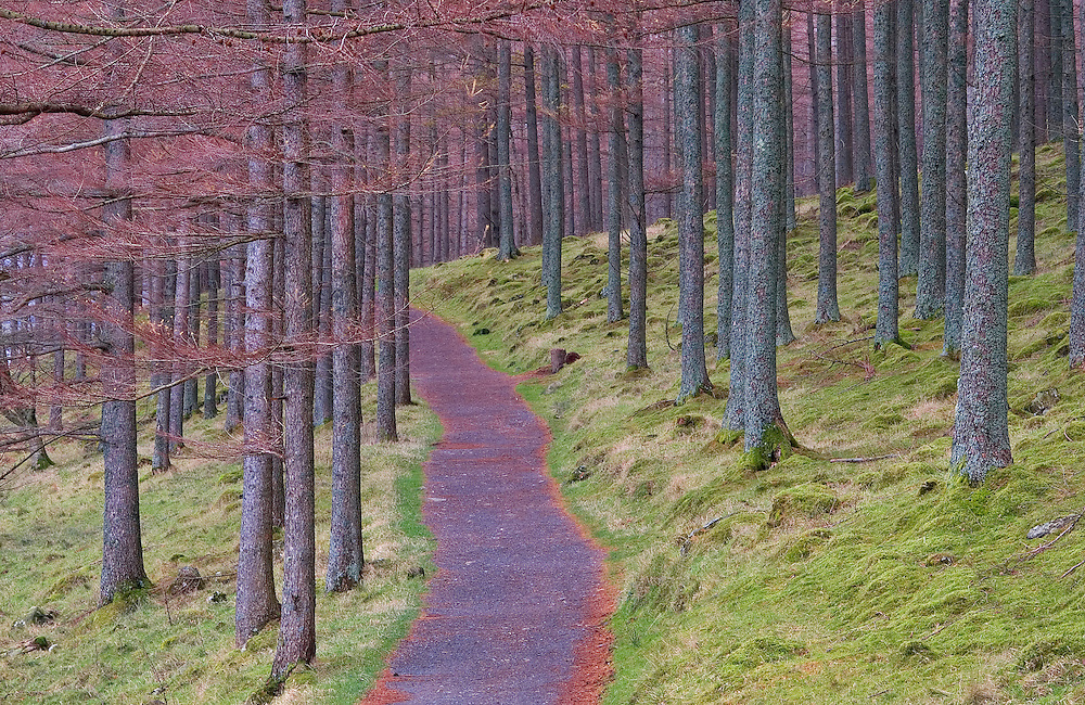 The red tinged path escorts you through the orderly pines deep into the scene.