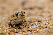 Fowler's toad - Bufo fowleri sitting in sand