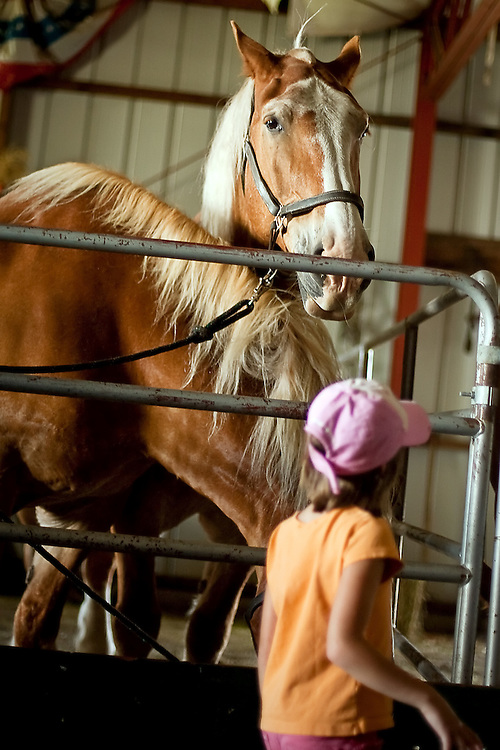 JEROME A. POLLOS/Press..Belgian horses watch visitors pass by their stalls in the draft horse building.