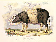 Sow of old English breed of pig. From David Low 'Domestic Animals of Great Britain', Paris, 1842