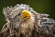 Nærportrett av Havørn | Closeup portrait of White-tailed Eagle