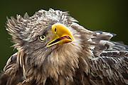 Nærportrett av Havørn | Closeup portrait of White-tailed Eagle