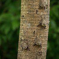 Proboscis bats (Rhynchonycteris naso) line a tree trunk on Pahuachiro Caño in the headwaters of the Amazon River in Peru's Pacaya-Samiria National Reserve.