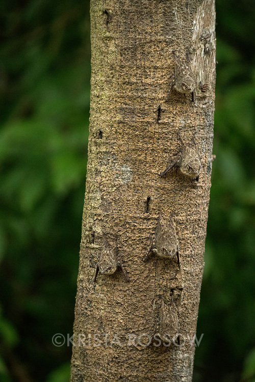Proboscis bats (Rhynchonycteris naso) line a tree trunk on Pahuachiro Caño in the headwaters of the Amazon River in Peru's Pacaya-Samiria National Reserve.