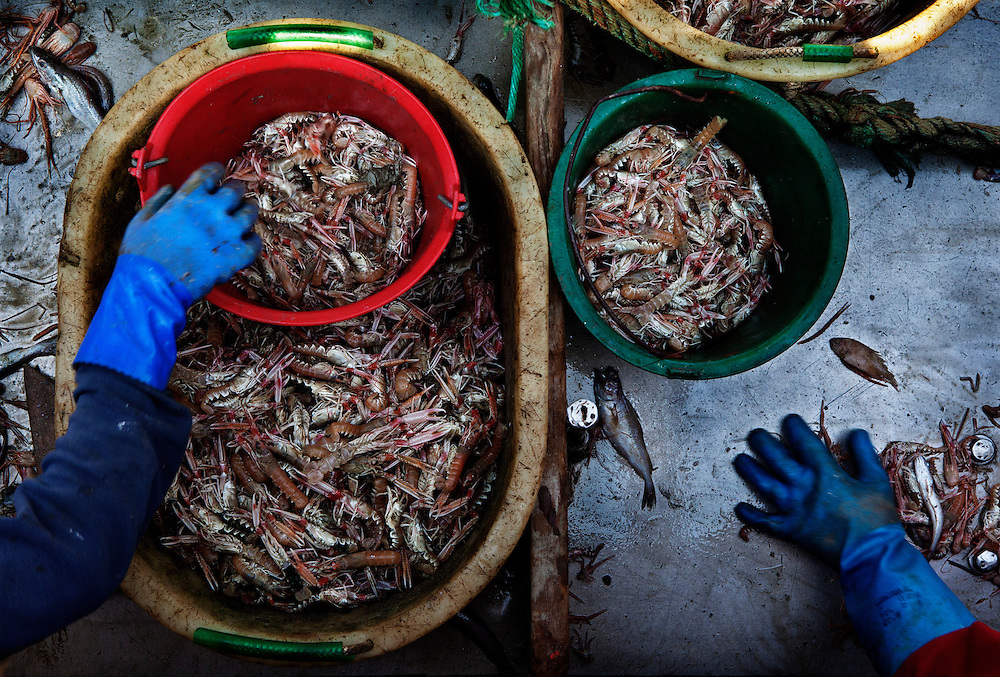 Sorting the catch at sea, aboard the trawler 'Avel-An-Heol', whose home port is Le Guilvinec, France. <br /> <br /> The boat is mainly fishing for Nephrops (Langoustine), but has a smaller by-catch of other species.<br /> <br /> The fleet leaves between 3am and 5am each morning, returning between 4pm and 5pm the same day. <br /> <br /> In the summer months, the returning boats are greeted by hundreds of onlookers, both locals and tourists, to watch the spectacle of the catch being landed and ferried into the market for the fish auction.