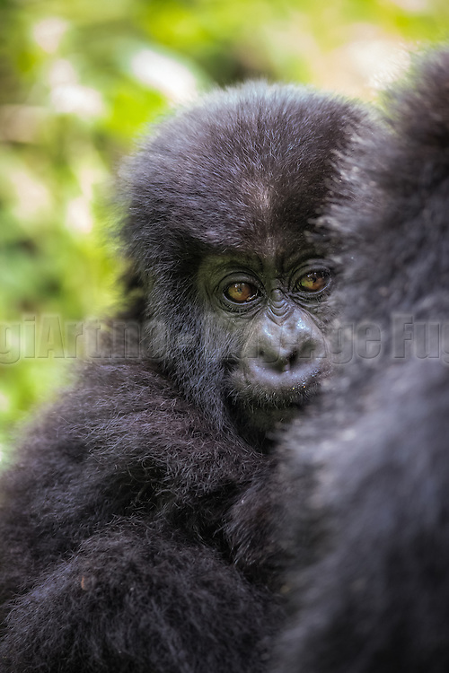 This picture was captured during gorilla trekking in Rwanda. This baby seemed to be a bit shy, and were hiding behind mamma | Dette bildet tok jeg under en gorillasafari i Rwanda. Denne babyen virket litt sky, og trivdes best bak ryggen på sin mor.