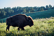 A wild bison walks through a grassy meadow in Custer State Park, South Dakota.