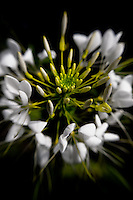 Close-up of a white Cleome, commonly known as the Spider Flower.