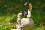 Nene birds, Hawaiian Goose (Branta sandvicensis), Island of Kauai, Hawaii