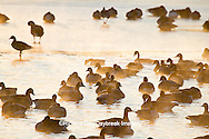 00748-05511 Canada Geese (Branta canadensis) flock on frozen lake,  Marion Co, IL