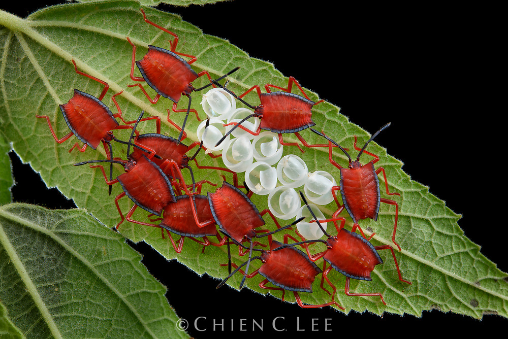 Newly hatched Red Stink Bugs (Pycanum rubeus) cluster together to amplify the effect of their aposematic warning coloration. Sarawak, Malaysia.
