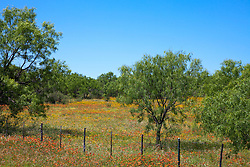 Blanket Flower (Gaillardia aristata) and Brown-eyed Susans (Rudbeckia hirta, var. augustfolia) fill a mesquite-studded meadow along Highway 16, near Enchanted Rock, Llano County, Texas.