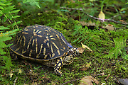 Eastern Box Turtle (Terrapene carolina) CAPTIVE<br /> The Orianne Indigo Snake Preserve<br /> Telfair County. Georgia<br /> USA<br /> HABITAT & RANGE:  Deciduous or mixed forests, also open grasslands and pastures. Texas throughout the southeast and north to Michigan and southern Massachusetts.