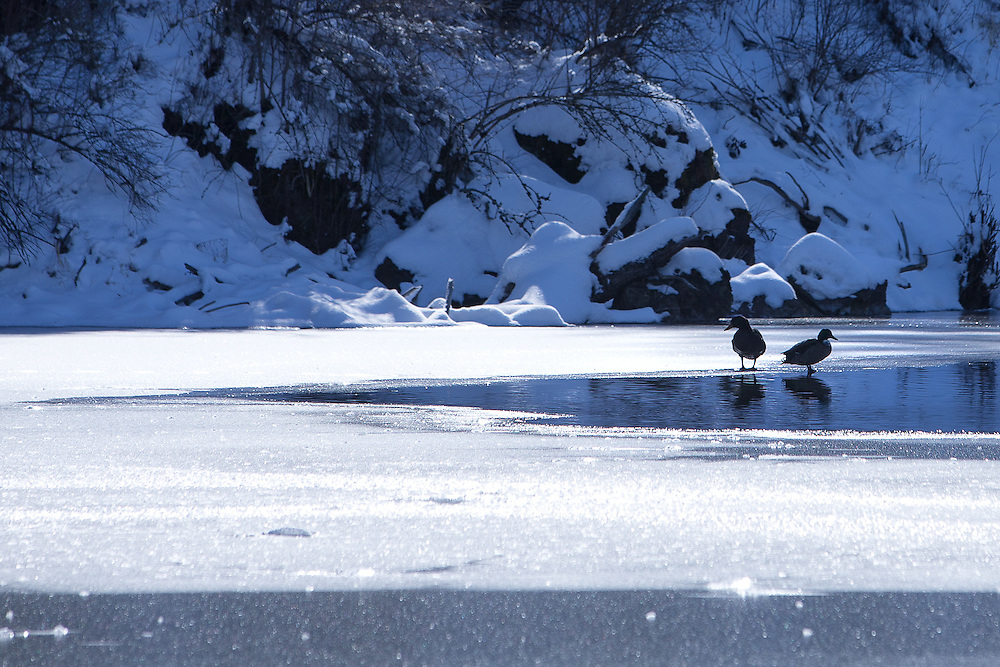 GABE GREEN/Press<br /> <br /> A pair of ducks stands on thin ice Wednesday as warm sunlight continues to thaw Fernan Lake.
