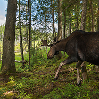 Bull mose (Alces alces) captured by a camera trap, New Brunswick, Canada, July 2015.