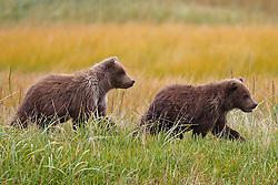 Two North American brown bear /  coastal grizzly bear (Ursus arctos horribilis) cubs walking through a field, Lake Clark National Park, Alaska, United States of America