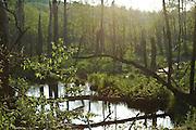 Lush green swamp at dusk