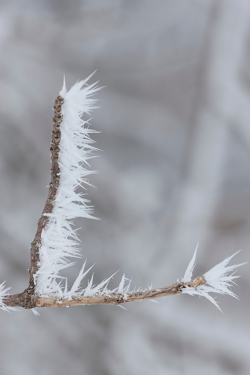 Sharp crystaled rime frost built up on bare winter twigs.