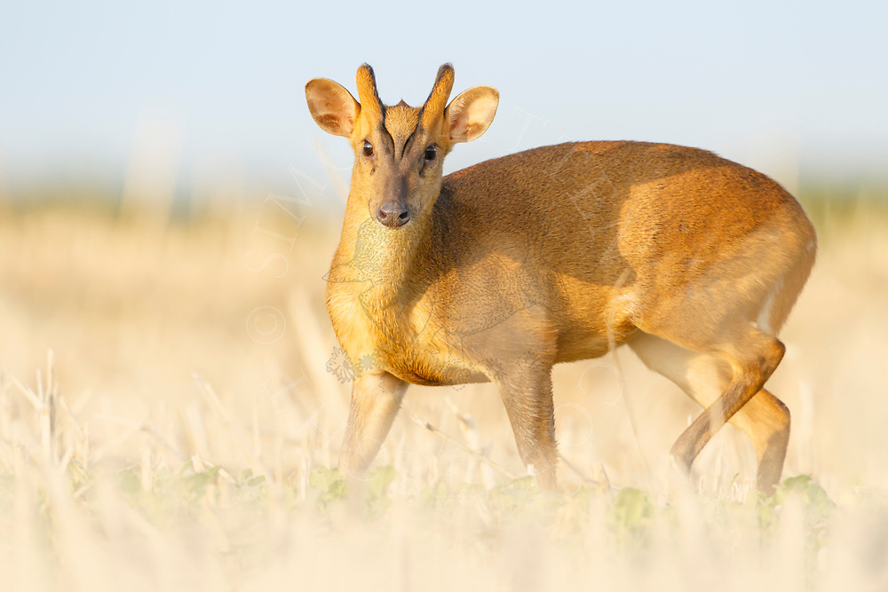 Chinese Muntjac (Muntiacus reevesi) introduced species, male on stubble field, South Norfolk, UK. August.
