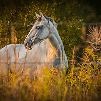 Distant view of a horse in a field in summer time with yellow grasses