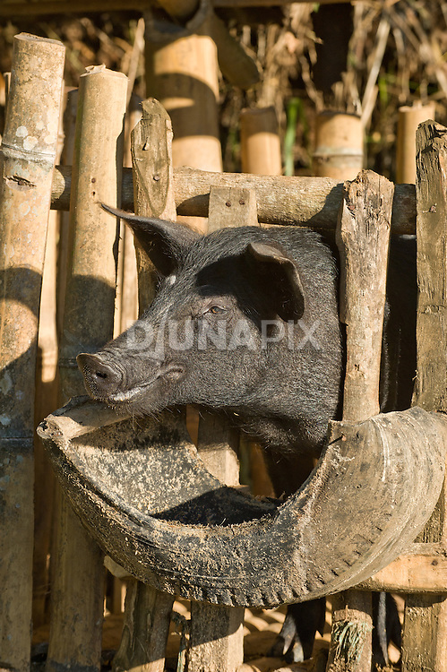 Pig in s bamboo enclosure, Liang Bua village, Flores.
