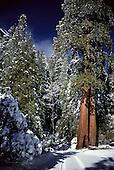 California: Sequoia Trees