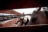 JEROME A. POLLOS/Press..Horses crowd into a corner Friday as livestock handlers plan for the upcoming rodeo events.