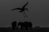 African Openbill landing near a herd of elephants after sunset, Chobe River, Kasane, Botswana.