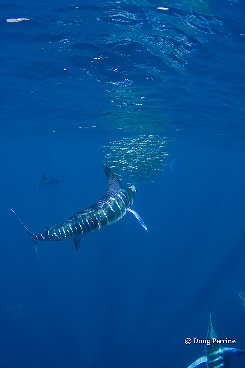 striped marlin, Kajikia audax (formerly Tetrapturus audax ), feeding on baitball of sardines or pilchards, Sardinops sagax, off Baja California, Mexico ( Eastern Pacific Ocean )  #2 in sequence of 5 images
