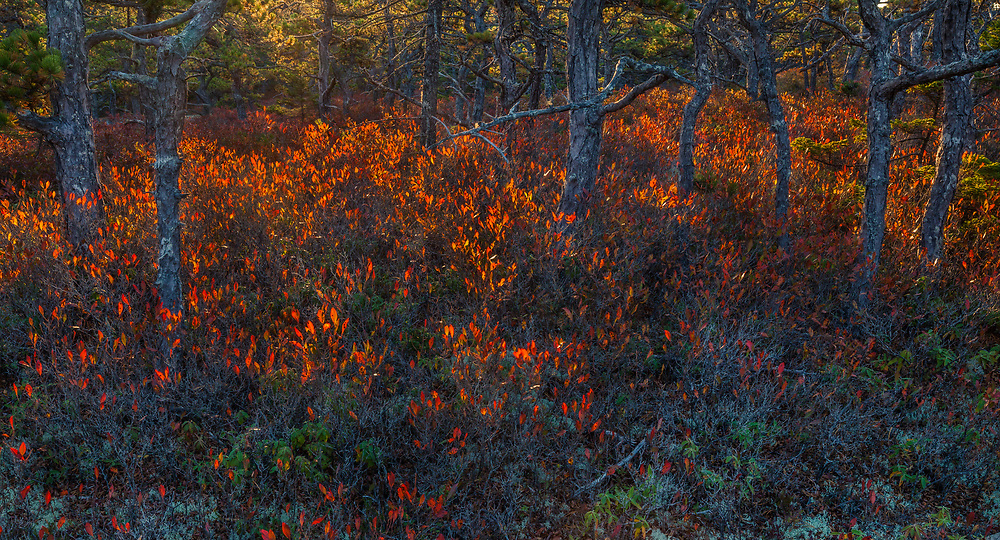 Backlight illuminates the colorful red huckleberry that grows along the coast in and area known as Wonderland, Acadia National Park, Maine