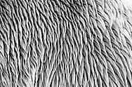 Deutschland, DEU, Berlin, 2000: Die Struktur eines nassen Eisbaerfells (Ursus maritimus), Berliner Zoo.   Germany, DEU, Berlin, 2000: Polar bear, Ursus maritimus, structure of wet fur, Zoo Berlin.  
