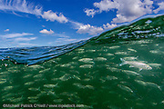 A school or shoal of White Mullet, Mugil curema, surfs a wave offshore Singer Island, Florida, United States