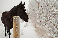 Black Horse and Hoar Frost, Alberta Canada