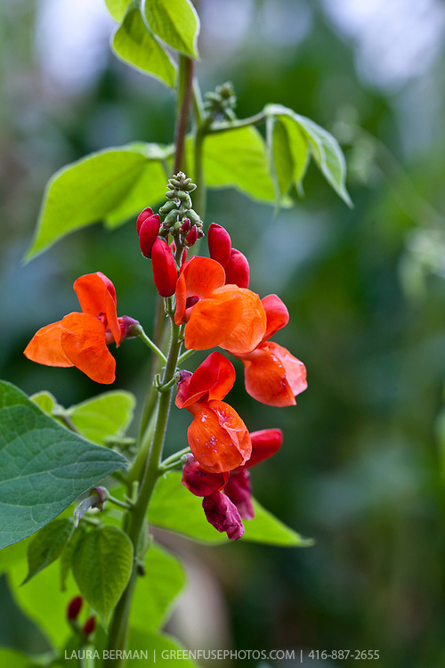 The bright red flowers and prolific vines of Scarlet Runner beans. (Phaseolus coccineus)