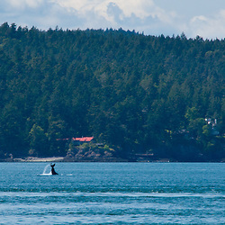 Orca Whale (Orcinus Orca) off Yellow Island, San Juan Islands, Washington, US