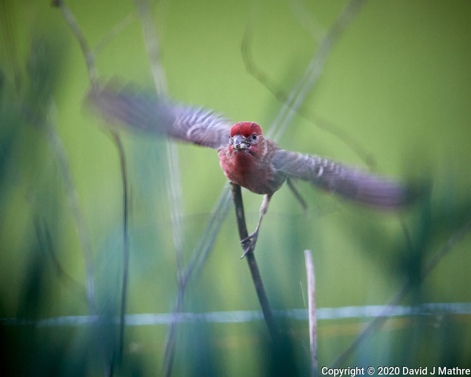 Male House Finch. Image taken with a Nikon D5 camera and 600 mm f/4 VR lens (ISO 1600, 600 mm, f/4, 1/640 sec).