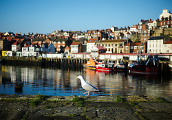 © Licensed to London News Pictures. <br /> 09/04/2017<br /> Whitby, UK. <br />  <br /> A seabird walks along the sea wall as sun shines down onto the harbour in Whitby in North Yorkshire. <br /> <br /> <br /> Photo credit: Ian Forsyth/LNP